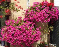 Cómo cuidar las surfinias. Conocidas también como petunias colgantes, las surfinias son unas flores en forma de trompeta muy usadas en terrazas y balcones, especialmente en cestos para colgar. Esta variedad híbrida de las petun... Hd Street Glide, Hanging Baskets, Bonsai, Shrubs, Flower Power, Cactus, Floral Wreath, Environment, Patio