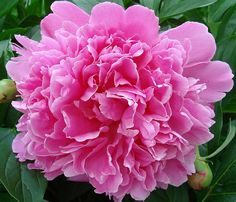 Peonies are my favorite flower!