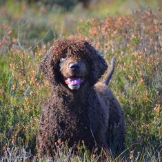 "Irish Water Spaniel America on Instagram: ""Finn - Loved by Claire Coulter #IrishWaterSpaniel #Dogs #DogsOfInstagram #SportingDogs #RoadToWKC @DogCelebration @PhilosophyOfDog…"""