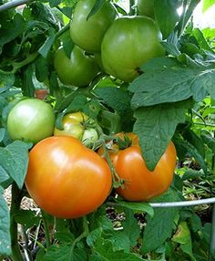 Bush Goliath Tomato - got one of these today.  It should be perfect as a container plant on the patio