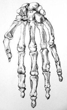 Pen drawing of the bones of a hand. Drawing by Emily Gerbig