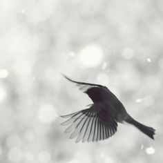 Junco in flight 5 - Dark eyed Junco flying in Snow Winter