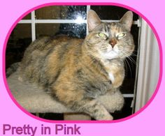 Patches is an adoptable Dilute Tortoiseshell Cat in Omaha, NE. Patches is apprx 12 years young: she is very outgoing & loving & she is not a timid cat. Her human mom has to find suitable adopter as s...