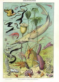 1923 Vintage french marine animals engraving by LyraNebulaPrints, $24.95