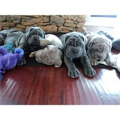 Neaplitain Mastiff Puppies...I already want another mastiff..they have such awesome personalities! #mastiffpuppy