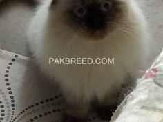 Pakbreed - Sell & Buy birds, aseel, cats, dogs, goats & other. National Animal, Buy Birds, Buy Pets, Cat Tree, Beautiful Cats, Livestock, Goats, Pakistan, Things To Sell