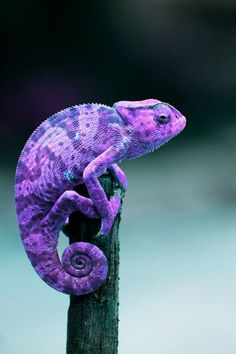 Purple & Blue Chameleon