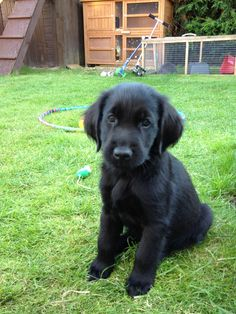 Flat coated retriever puppy.. Isn't he adorable?