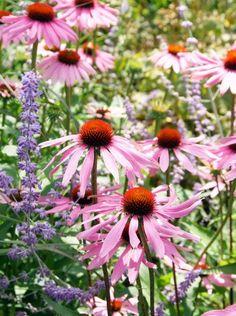 Our summer bouquet will set your garden ablaze! Herbaceous Perennials, Flowers Perennials, Echinacea Purpurea Magnus, Garden Spheres, Cut Flower Garden, Cut Garden, Summer Plants, Garden Living, Plant Design
