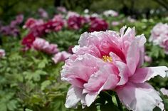 Tree Peonies at the Brooklyn Botanic Garden. Beautiful.