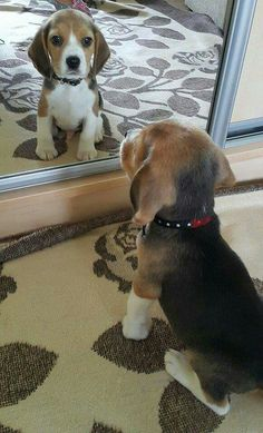 Very Cute Dogs, Super Cute Puppies, Cute Baby Dogs, Cute Little Puppies, Cute Dogs And Puppies, Cute Little Animals, Cute Funny Animals, Pet Dogs, Pets