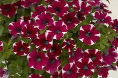 'Bicolor Cabernet' Petunias