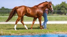 quarto de milha entre as racas de cavalos mais caras do mundo