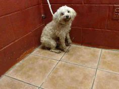 ~ Animal ID #A4869671 She has diarrhea, Pain in abdomen with palpation and pain in hind limb with palpation. My Name is DAPHNE. I am a Female, Tan Miniature Poodle mix. The shelter thinks I am about 10 years old. L.A. County Animal Care & Control: Downey  Telephone ‒ (562) 940-6898 11258 South Garfield Avenue Downey, CA https://www.facebook.com/OPCA.Shelter.Network.Alliance/photos/pb.481296865284684.-2207520000.1440528322./871570112924022/?type=3&theater
