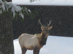 Bull Elk in Pigeon River Forest East of Vanderbilt, Michigan