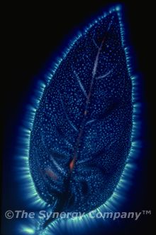Organic Nettle Leaf  A Kirlian photograph  (I just like the photo....)