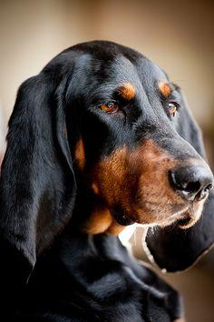 Star - Black & Tan Coonhound