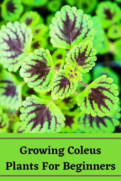 Growing Flowers, Growing Plants, Coleus Care, New Roots, Succulent Care, Plant Needs, Types Of Flowers, Propagation, Container Plants