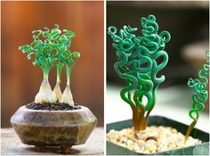 20 Weird House Plants You Didn't Know You Needed Trachyandra: These guys are unique, snake-like plants that will bring out your inner-Medusa. Seriously, those curls are enough to give anyone hair envy. (via Plant Propaganda) Weird Plants, Unusual Plants, Rare Plants, Exotic Plants, Cool Plants, Alien Plants, Cacti And Succulents, Planting Succulents, Potted Plants