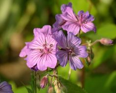 Geranium malviflorum - photo supplied by East Lambrook Manor Gardens, Somerset UK where you see plenty of these in bloom in spring