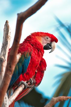 Exotic bird of South America Scarlet, South America, Exotic, Animals, Animales, Animaux, Animal, Animais, Scarlet Witch