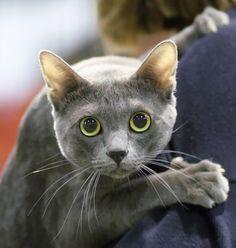 Korat-cat-pictures-5.jpg