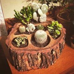 """saichedelica: """"Handcrafted Tree Branch Multi-Pot Planter (Live Oak w/Bark) I just purchased one of these are beautiful planters. Garden Crafts, Garden Projects, Garden Art, Succulent Gardening, Succulents Garden, House Plants Decor, Plant Decor, Diy Wood Projects, Wood Crafts"""