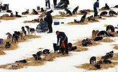 Iditarod Trail Sled Dog Race 2013 - The Big Picture - Boston.com
