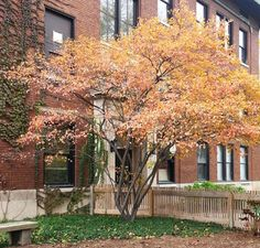 Amelanchier laevis Allegheny Serviceberry in fall Native Plants, New England, Maine, Landscaping, Gardening, Fall, Autumn, Garten, Lawn And Garden