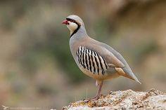Chukar partridge, Golestan National Park, Golestan province, Iran (Persian: كبك, پارك ملى گلستان) Photo by Behzad Farahanchi