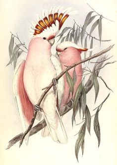 Prints & Graphics - John Gould - Page 5 - Australian Art Auction Records Old Illustrations, Pink Cockatoo, Vintage Bird Illustration, Sibylla Merian, John Gould, Australian Birds, Tropical Birds, Vintage Birds, Vintage Decor