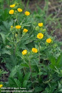 Potentilla gracilis | fivefinger cinquefoil | Wildflowers of the Pacific Northwest