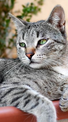 Gorgeous and thoughtful tabby. Grey Tabby Cats, Curious Cat, Cat Aesthetic, Tier Fotos, Cute Cats And Kittens, Beautiful Cats, Cat Life, Crazy Cats, Pet Birds