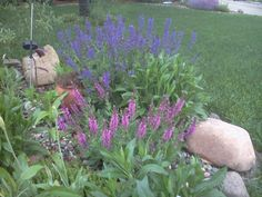 Pink and purple sage