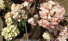 Viburnum plicatum – gefüllter japanischerSchneeball