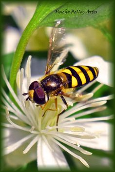 This is a close up of a very busy bee visiting our clematis this summer!