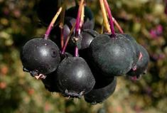Douglas hawthorn fruit black berry edible LIVE PLANT Starter | Etsy