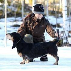 HERA d'An Naoned   Femelle Basset bleu de Gascogne née le 23/04/12 (Etel d'An Naoned x Frog d'An Naoned) Finlande  Photo  Mme Kujanen & Mme Linna #basset #bassetbleudegascogne #doggy #dogshow #hundeschau #showdogs #finland #dogoftheday #bassetoftheday #dog #chien #hund #pet #cani #bassetlovers #dogpics #petpics #bassetlove