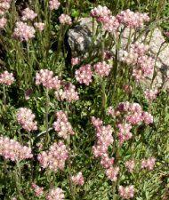 Antennaria dioica 'Rubra'  punakissankäpälä