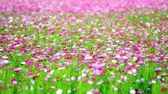 cánh đồng hoa cánh bướm