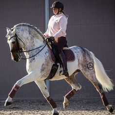 PRE stallion Cazurro. Fleabitten or grey tobiano? Important, taking into account that pinto patterns are not admitted in this breed.