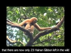 Watch this video and learn more about the remaining 23 Hainan gibbons: Most Endangered Animals, Rare Animals, Rare Species, Endangered Species, Watch Video, Animal Kingdom, Pet Birds, Videos, The Past