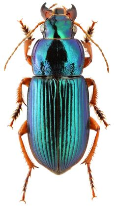 Carabidae: Harpalus cupreus fastuosus Fald   Purely Inspiration