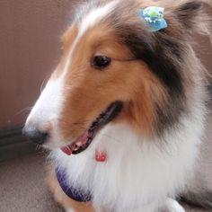 おはようございます。 今週もよろしくお願いします。 若かりし頃の僕です。  #わんこ #愛犬 #いぬ #犬 #チワワ #ロンチー #シェルティー #シェットランドシープドッグ #dog #chihuahua #sheltie #shetlandsheepdog #sheltiepage #pet #dogstagram #petstagram #かわいい