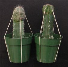 How to Graft Cacti by Dr. T. Ombrello #Cactus_Grafting #Dr_T_Ombrello