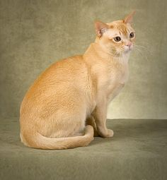 Temperament and Personality of Burmese Cat.Click the picture to read. Here is your Sam, Leslie. Now you know why he attacks you!
