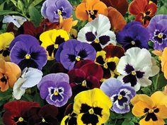 Viola wittrockiana-hybrider, Stemorsblomst, Violaceae Fiolfamilien, SOMMER