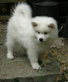American Eskimo Dog: maybe what Bodhi looked like as a puppy. Maybe we'll get him a baby sister.