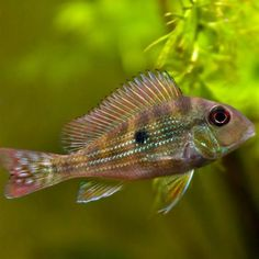 As the name implies, the Geophagus Surinamensis (earth eater) will continually shift through the substrate in search of food. Live Freshwater Fish, Cichlids, Aquariums, Fresh Water, Tanks, Pets, Tanked Aquariums, Fish Tanks, Shelled