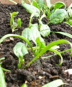Plantar Espinafres